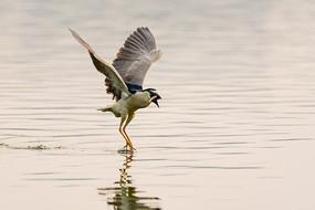 夜鹭衔鱼起飞