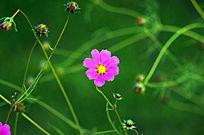 一朵紫色小花