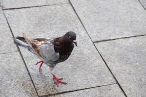 一只花色鸽子图片