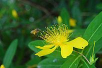 有蜜蜂的黄色花朵