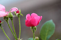 月季花与花苞