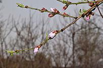 雨中的桃花