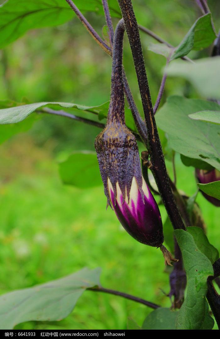 原创摄影图 动物植物 花卉花草 紫茄子果实  请您分享: 红动网提供