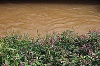 阿庐古洞河边的野花