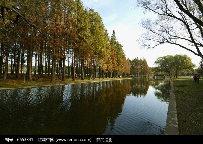 河边水杉林图片,高清大图_森林树林素材