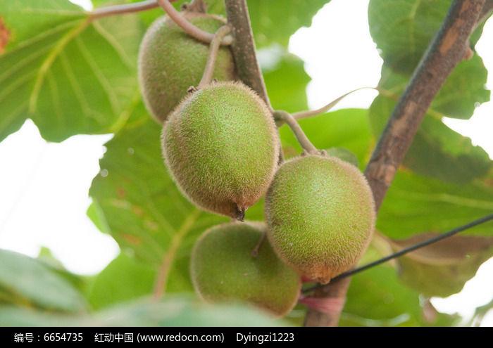 原创摄影图 动物植物 农作物 猕猴桃果园