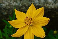 黄色的野花