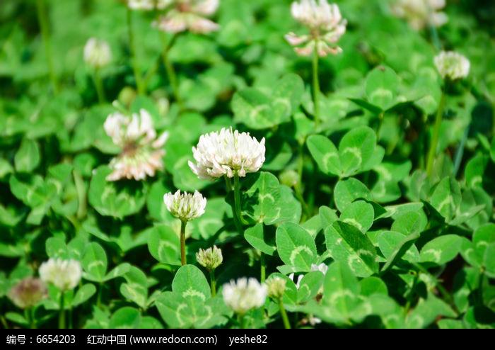 原创摄影图 动物植物 花卉花草 开花的莋樟草  请您分享: 红动网提供