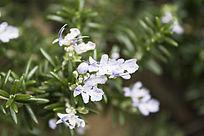 迷迭香的白色小花朵