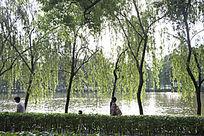 岸边整齐的柳树