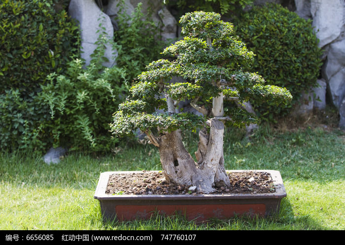 原创摄影图 动物植物 树木枝叶 柏木盆景