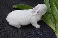 吃菜叶的兔子