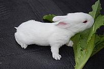 纯白色小兔