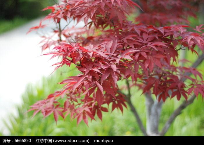 枫叶红图片,高清大图_树木枝叶素材