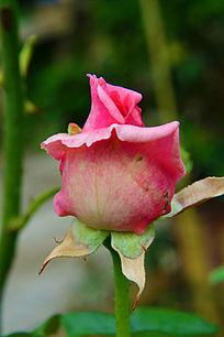 粉红色的玫瑰花花苞