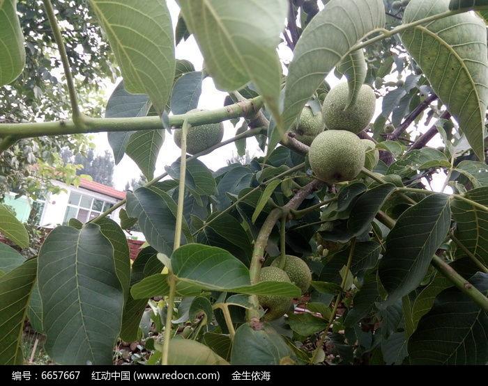 原创摄影图 动物植物 树木枝叶 核桃树  请您分享: 红动网提供树木