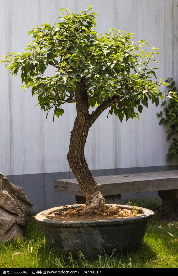 原创摄影图 动物植物 树木枝叶 红豆杉盆景  请您分享: 素材描述:红动