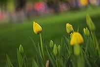 黄色花苞郁金香