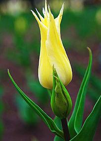 黄色郁金香植物