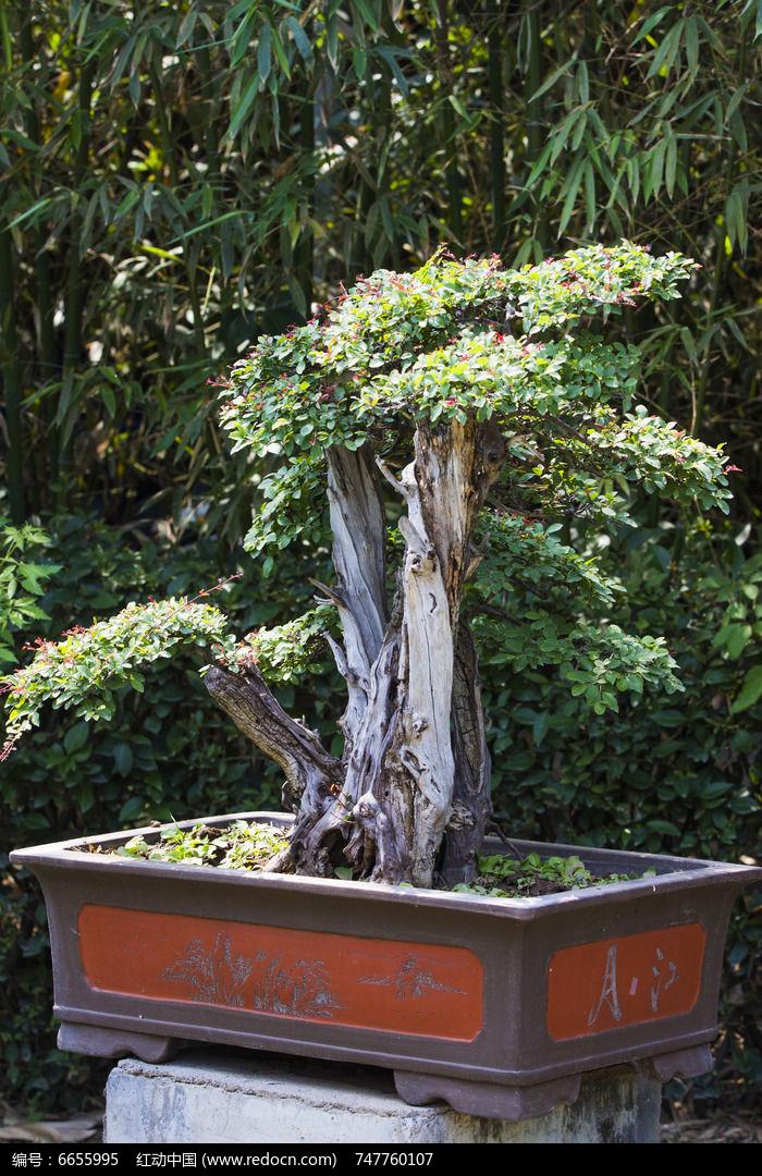 原创摄影图 动物植物 树木枝叶 黄杨盆景