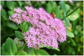 景天科植物花卉