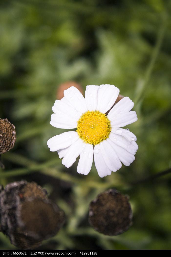 木桩边白色小雏菊图片,高清大图_花卉花草素材