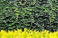 爬墙藤墙壁与黄叶子