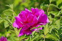 盛开的紫色牡丹