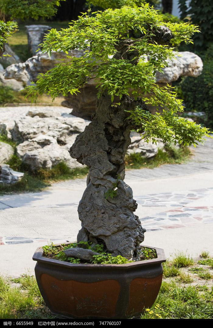原创摄影图 动物植物 树木枝叶 石山盆景