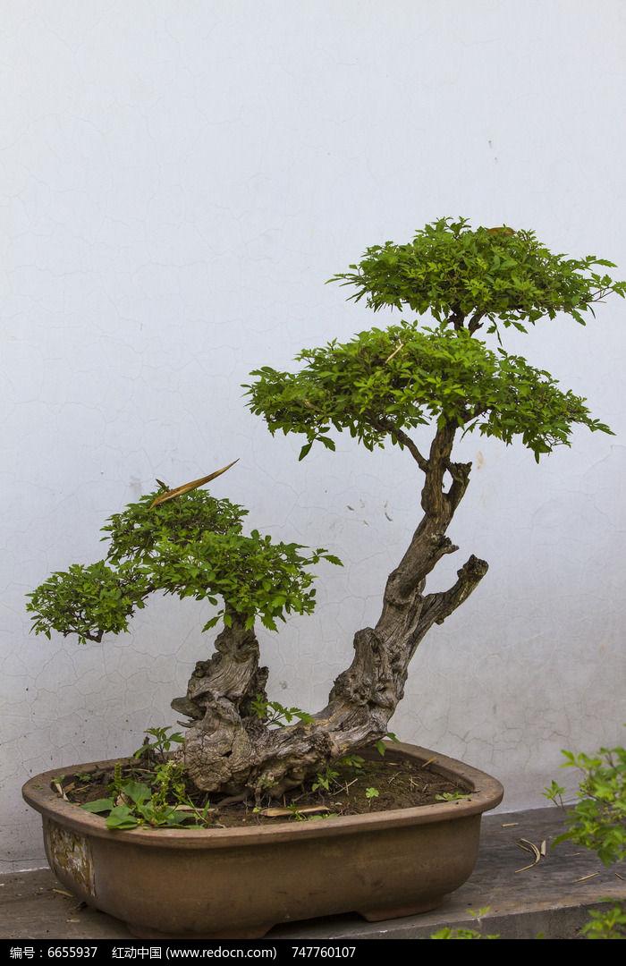 原创摄影图 动物植物 树木枝叶 小树盆景  请您分享: 红动网提供树木