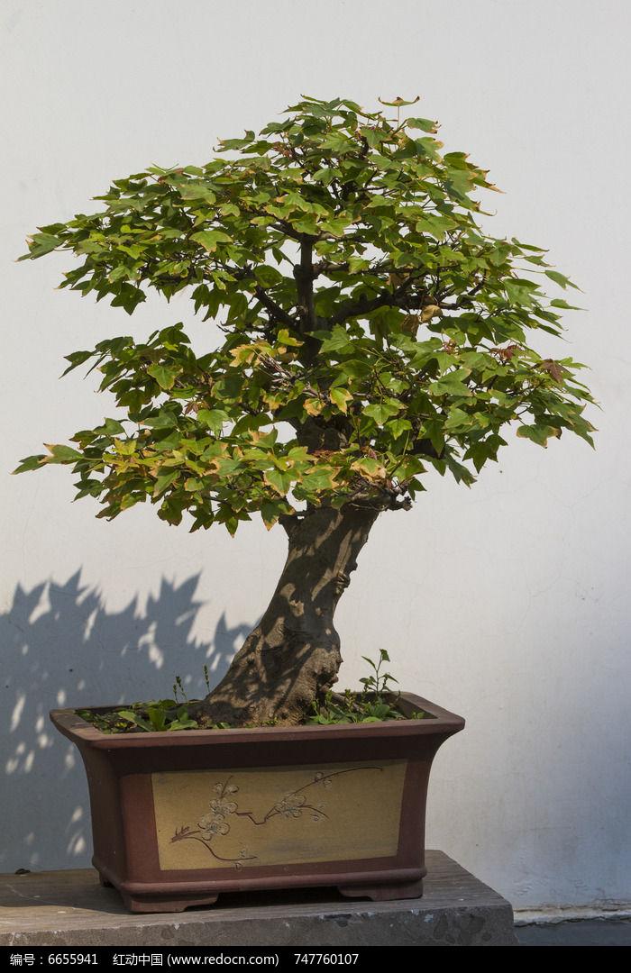 原创摄影图 动物植物 树木枝叶 银杏盆景