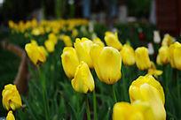 郁金香植物园花卉