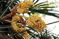 棕榈树的花