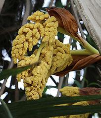 棕榈树开的花