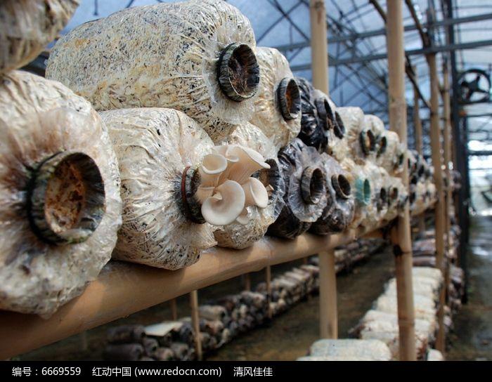 原创摄影图 动物植物 农作物 大棚养殖菇类  请您分享: 红动网提供农