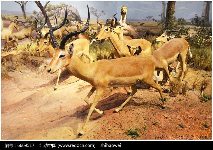 羚羊标本图片,高清大图_陆地动物素材