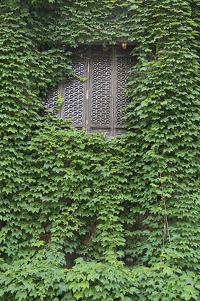 爬山虎绿叶包围的古典木窗