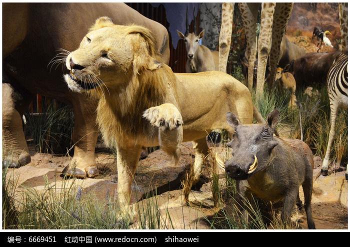 动物世界狮子吃牛