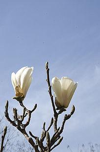 欣欣向荣的玉兰花