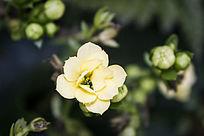 一朵黄色的多肉小花