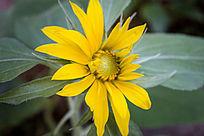 一朵黄色的向日葵