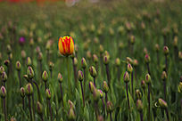 一朵郁金香花苞