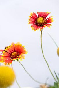 白色背景花朵素材