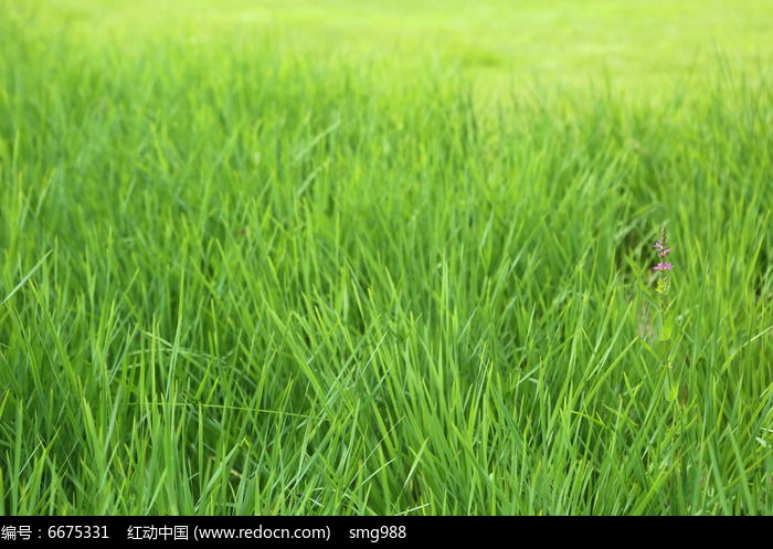 原创摄影图 动物植物 花卉花草 草坪前的绿草和小紫花  请您分享: 红