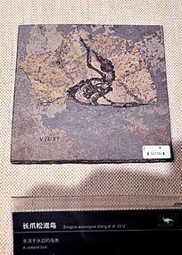 长爪松滋鸟化石