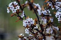 春季盛开的紫叶李