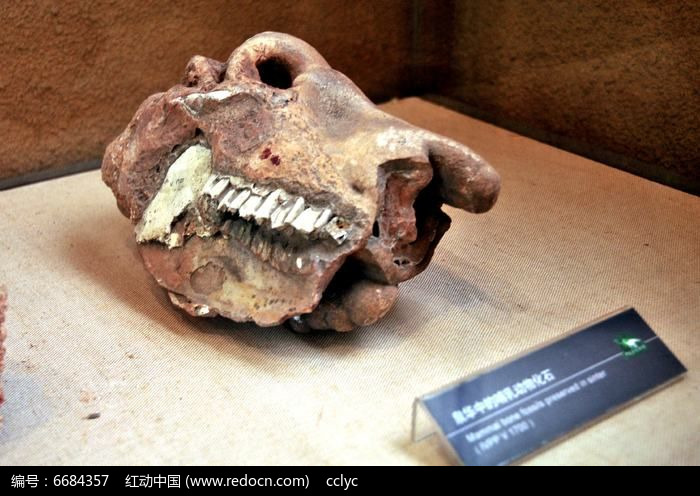 动物化石头骨牙齿图片