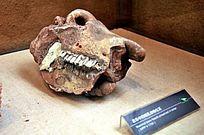动物化石头骨牙齿
