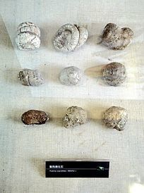 齹狗粪化石