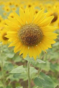 花海背景的太阳花向日葵